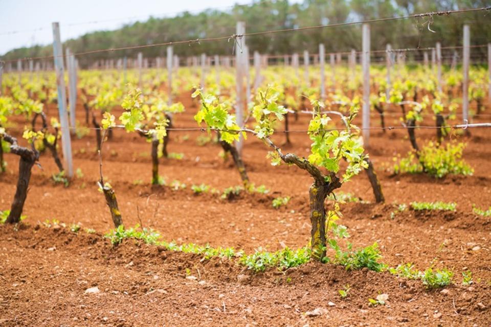 Primitivo Planted in Manduria, Puglia, Italy