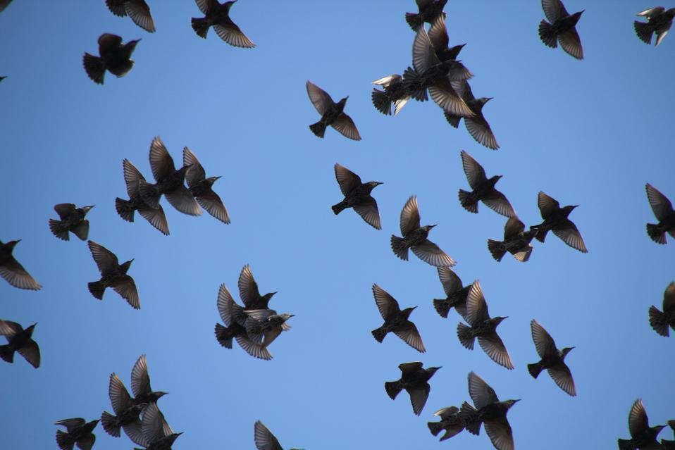 European starling flock Sturnus vulgaris MrTinDC https://www.flickr.com/photos/mr_t_in_dc/