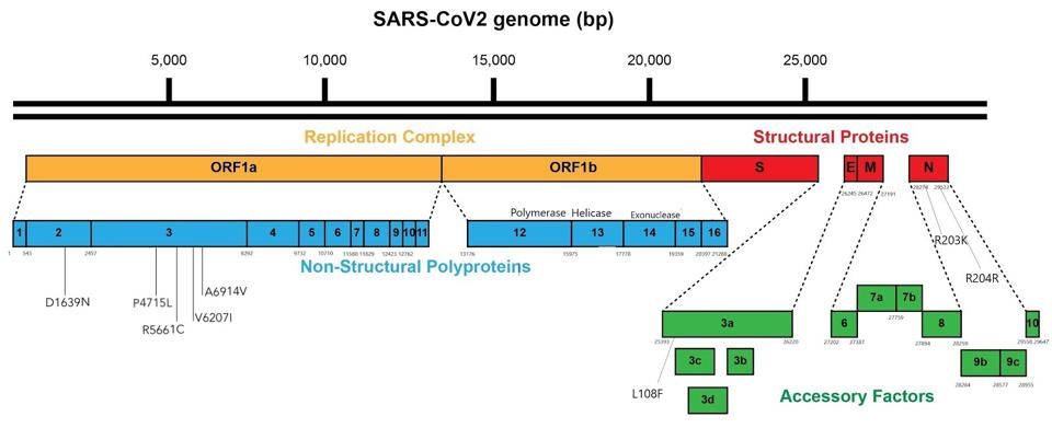Figure 2. Linear visual representation of the mutations outside the spike protein in viral genomes from the Italian patient.