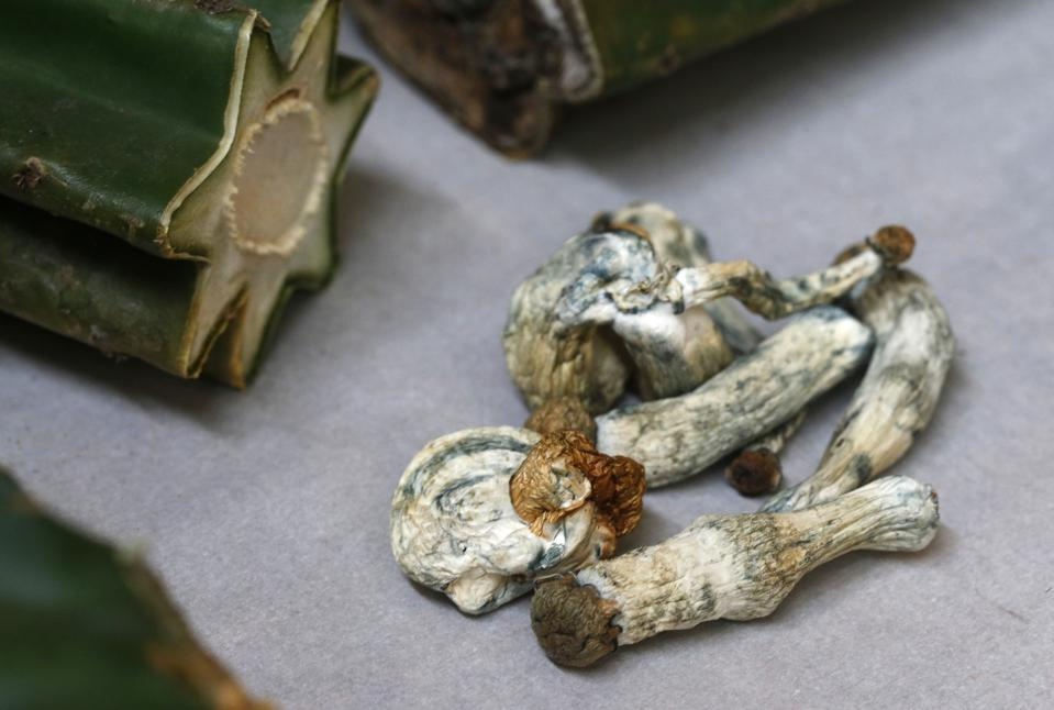 Psilocybin mushrooms are displayed with cacti containing hallucinogenic mescaline in Oakland, Calif. on Thursday, May 30, 2019.