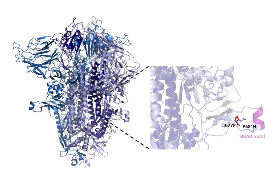 Figura 2. Estructura de la proteína de pico de SARS-CoV-2 que indica el sitio Q677P dentro de un anillo perturbado adyacente al sitio de escisión de furina.