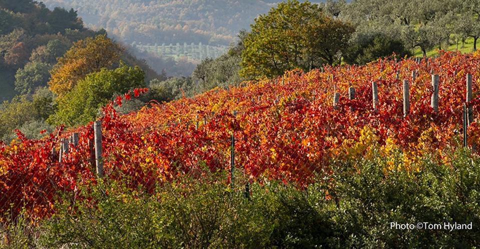 Post-harvest Sagrantino vines, Montefalco, Umbria
