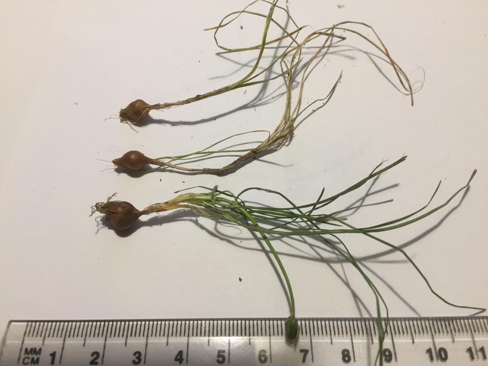 onion grass (Romulea rosea) corms doi:10.1111/emr.12449
