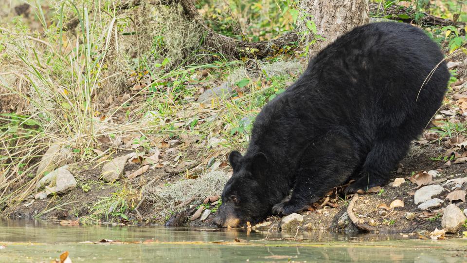 A black bear (Ursus americanus) in the Cumbres de Monterrey National Park in north-east Mexico.