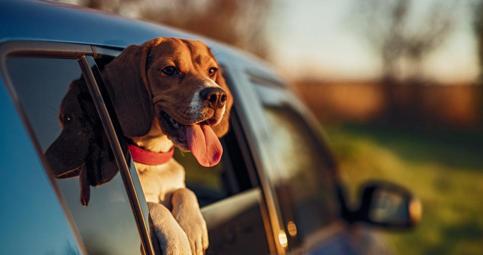 Happy dog in car window in nature