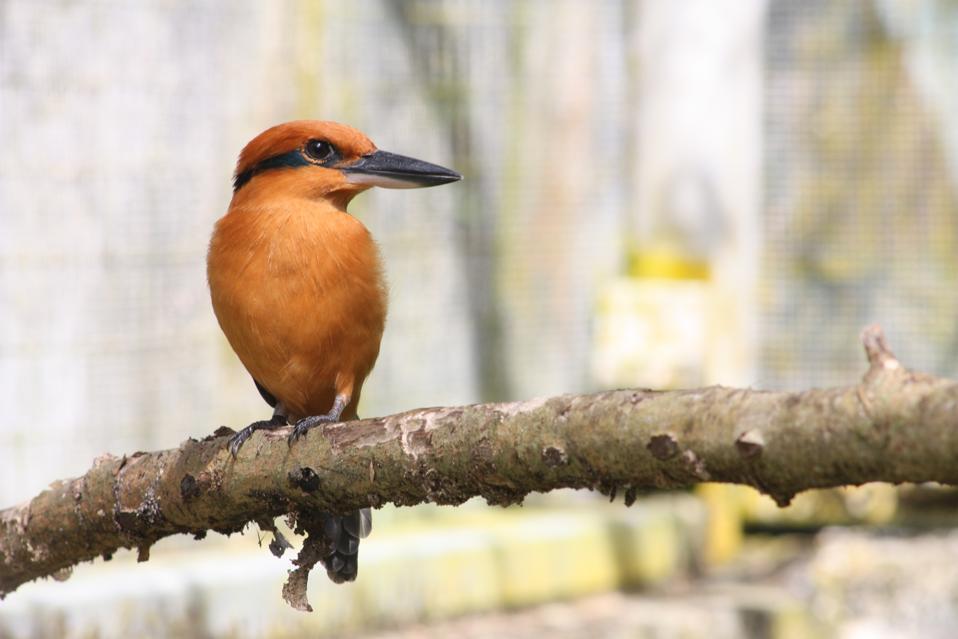 Adult Sihek, or Guam kingfisher (Todiramphus cinnamominus) Credit: John Ewen