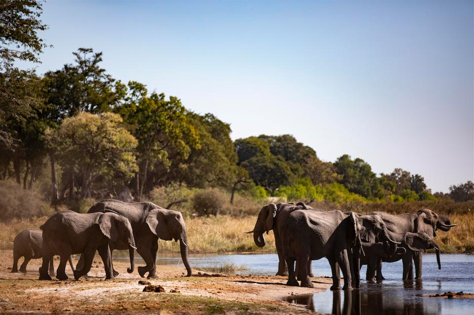 The elephants passing near Wilderness Safari's camps in northern Botswana.