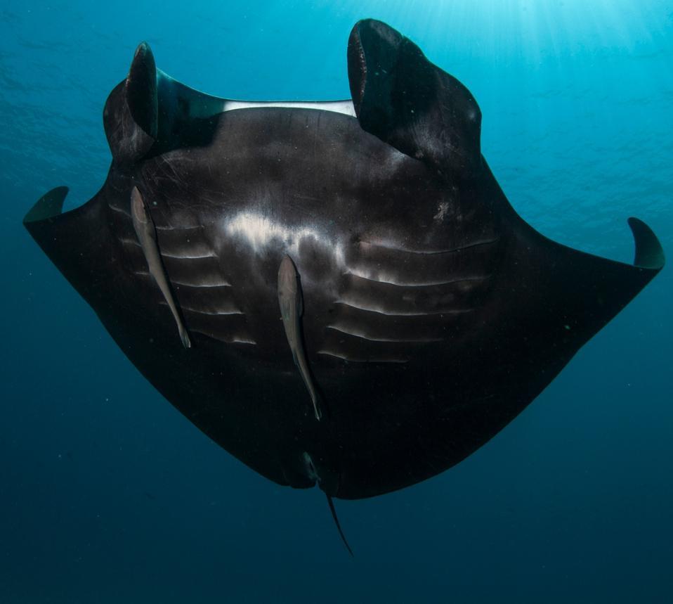 Black manta ray swimming