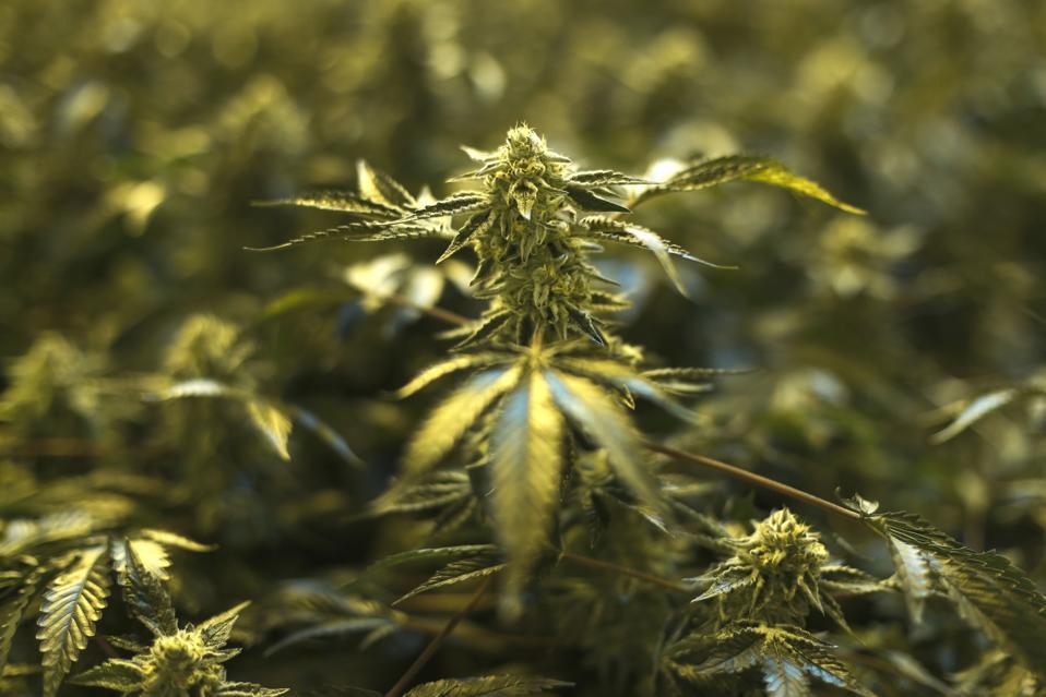 Cannabis, Marijuana, pot, weed