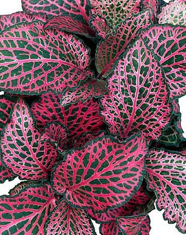 Red Veined Nerve Plant - Fittonia - Easy House Plant - 6″ Pot