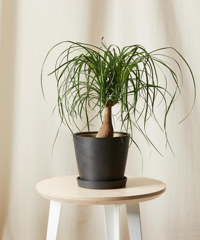 Buy Potted Ponytail Palm Indoor Plant