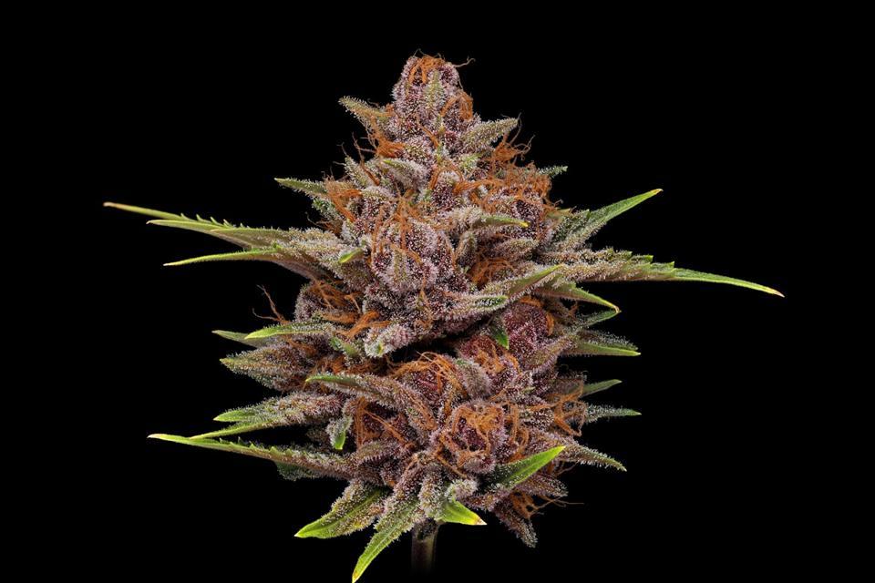 Cannabis flower (cultivar: Star Pupil) on a black background grown by Storm Cannabis.