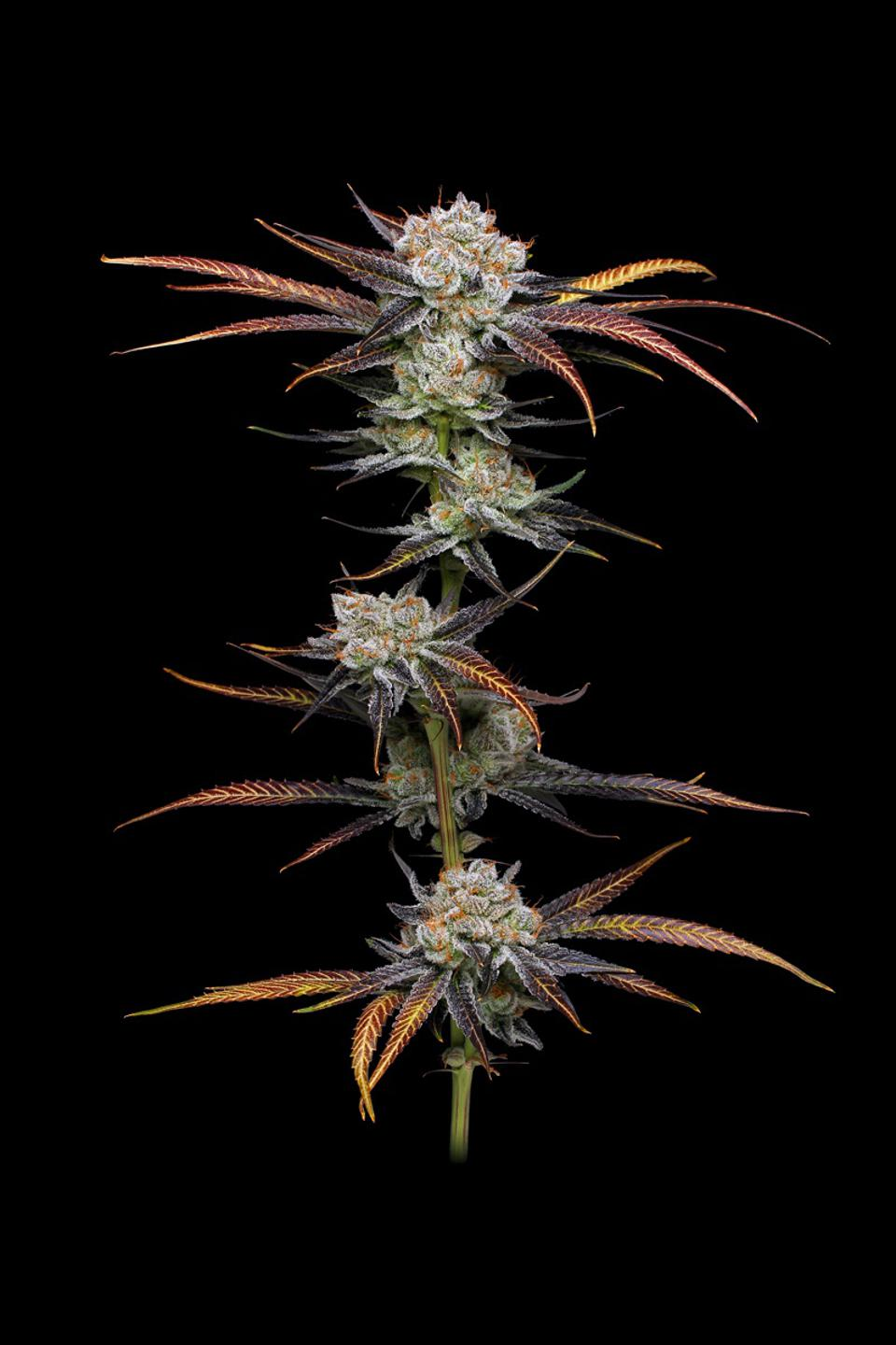 A branch of cannabis flowers (cultivar: Banana Punch) on a black background grown by The Village.