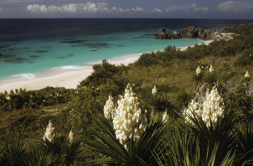 Yuccas in bloom, Horseshoe Bay...