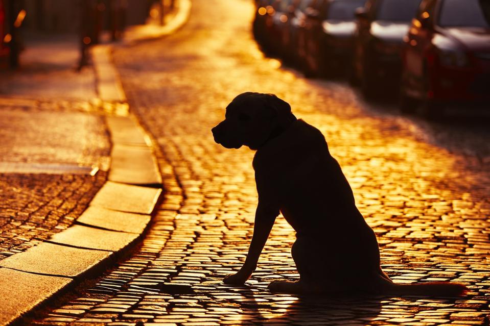 Lost dog on cobblestone street at sunset