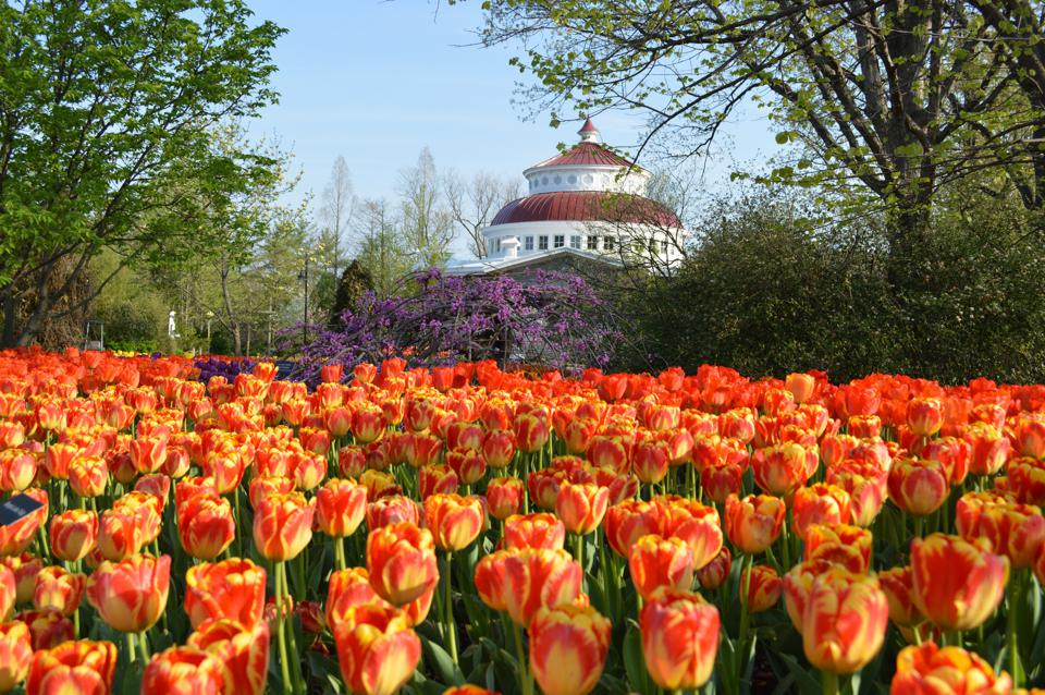 A field of vividly colored tulips at the Cincinnati Botanical Garden.