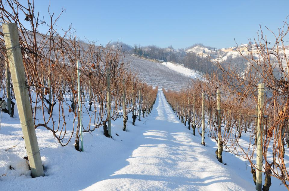 Roero vines in winter