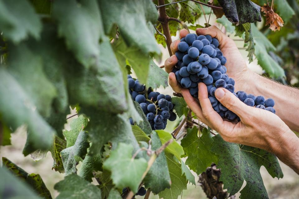 Nebbiolo grapes from Roero, Piedmont, Italy