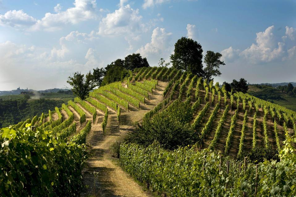 Vines in Roero, Piedmont, Italy