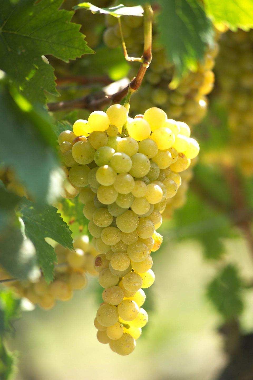 Arneis grapes in Roero, Piedmont, Italy