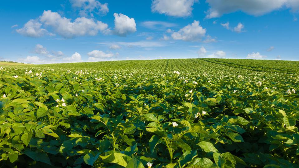 Potato field and blue sky at beautiful day.