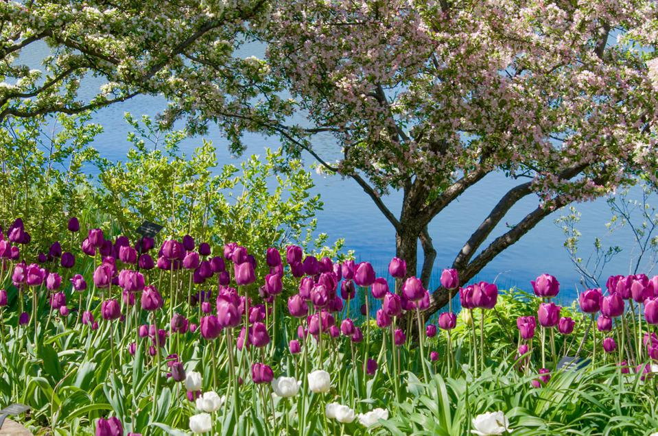 Crabapples and tulips