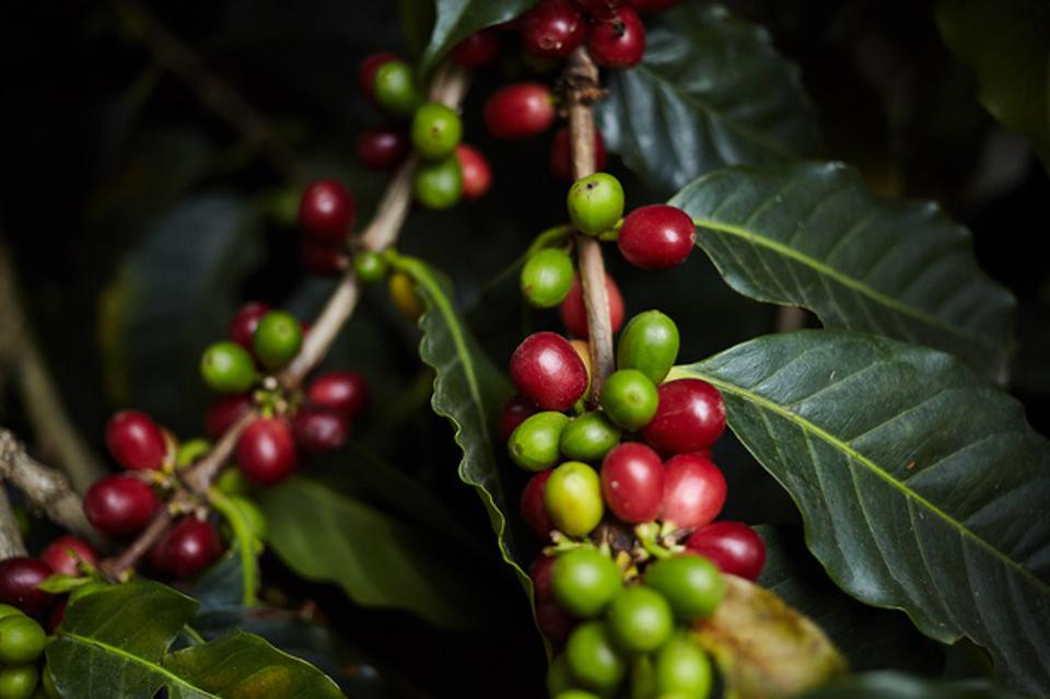 coffee cherries growing on coffee tree