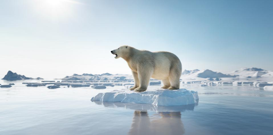 Polar bear on ice floe. Melting iceberg and global warming.