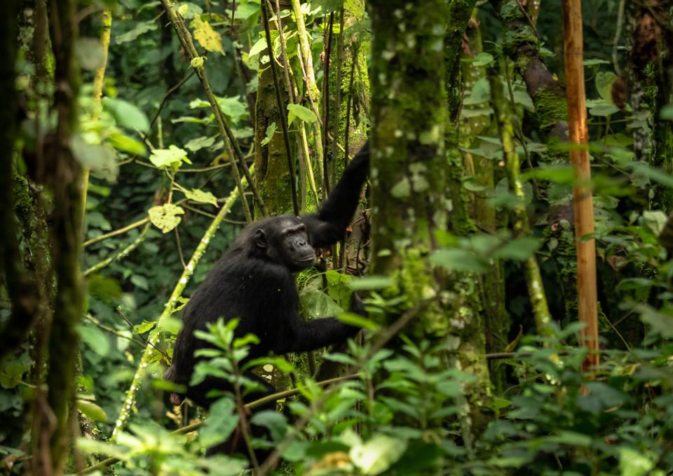 Eastern Chimpanzee at Gishwati-Mukura National Park