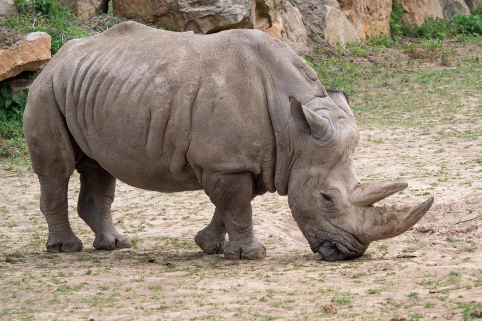 Southern white rhinoceros (Ceratotherium simum simum). Critically endangered animal species.