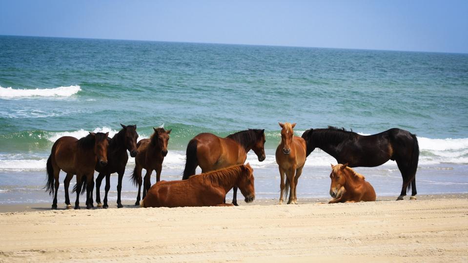 Wild Horses at Corolla
