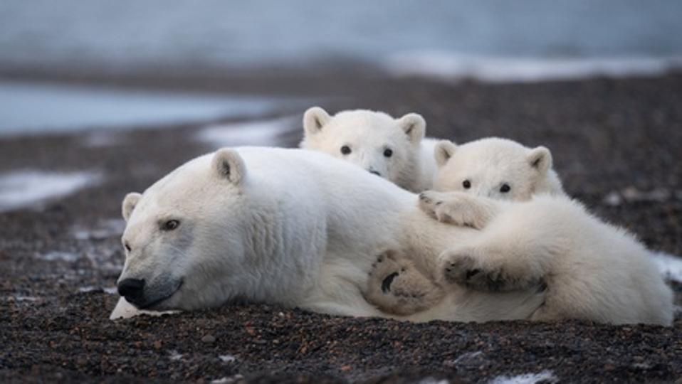 Polar bear family from Alaska