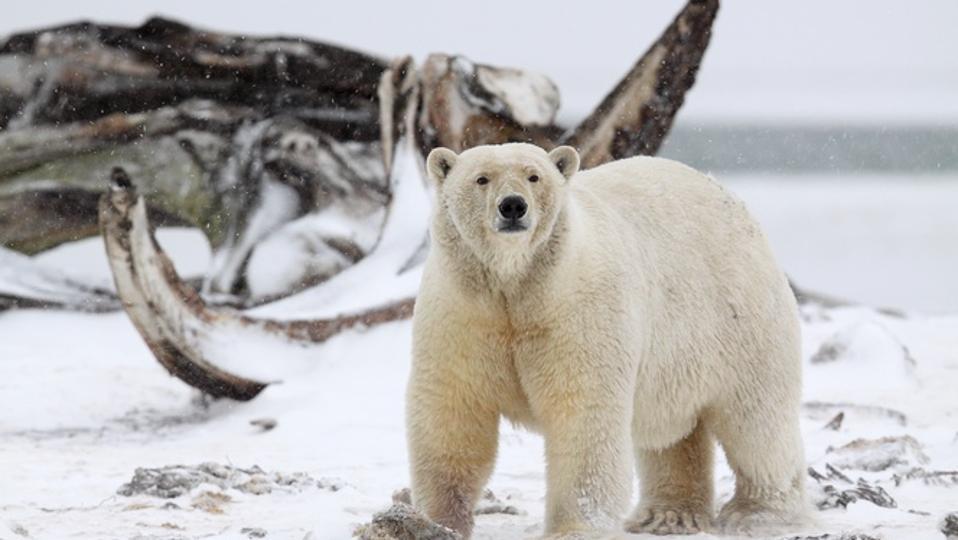 Polar bear with whale bones