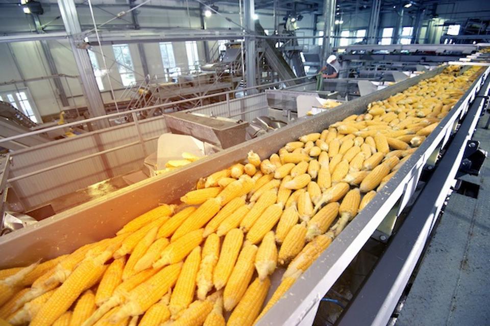 Ripe corn on a conveyor processing line