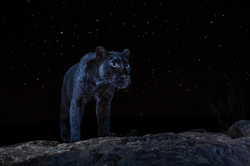 Sony World Photography Awards: a black panther in a starry night