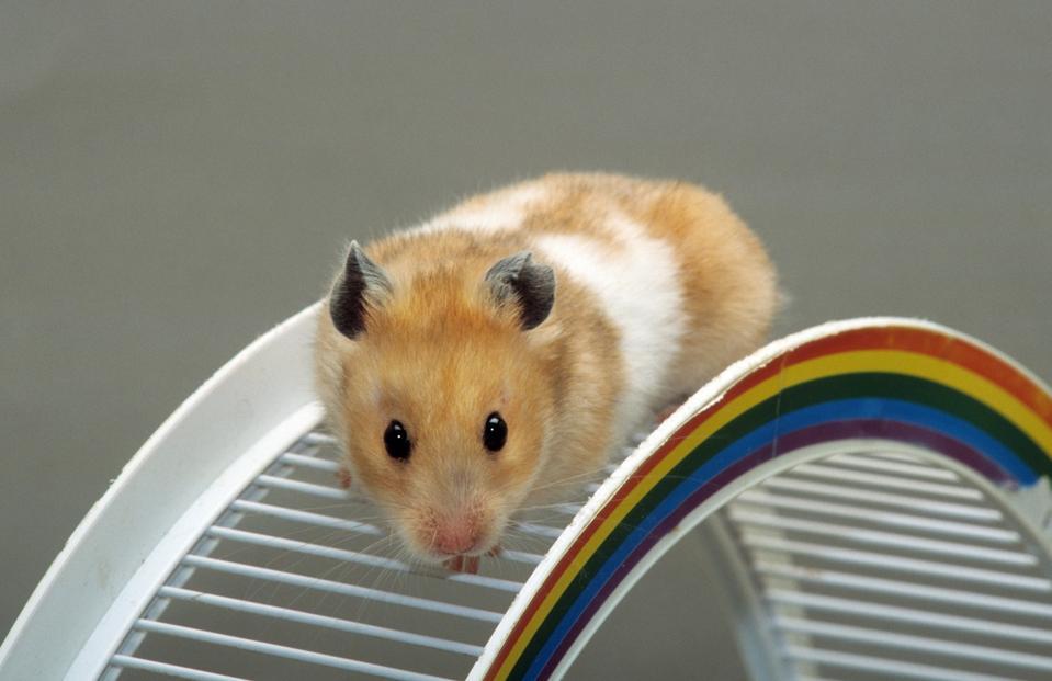 Golden hamster - Gay Hamster Wheel  Fun Financial Planner
