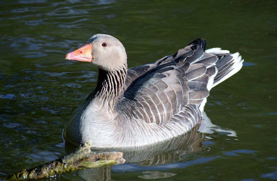 Close-Up Of A Goose Swimming In Lake