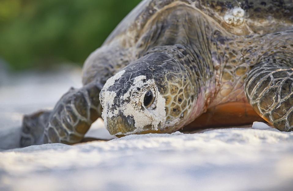 Green sea turtle laying
