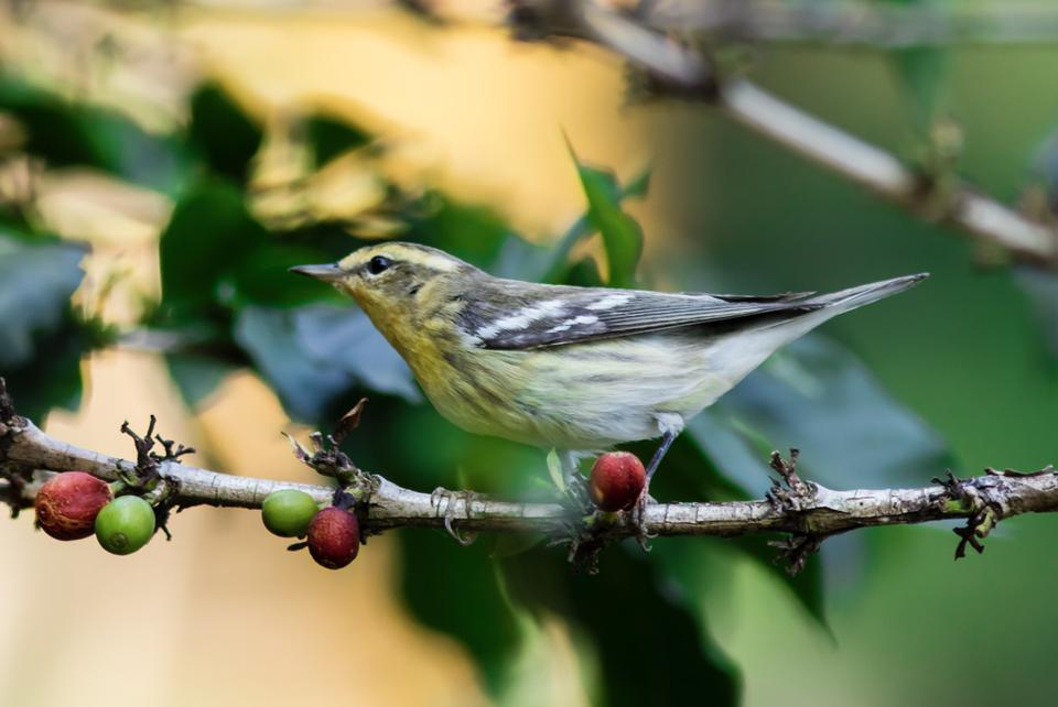 female blackburnian warbler (Setophaga fusca) (Credit: Guillermo Santos / Virginia Tech)