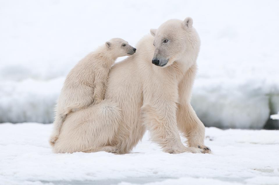 Polar bears in Arctic Svalbard.