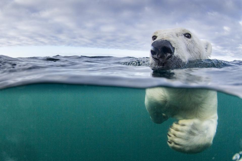 Underwater Polar Bear by Harbour Islands, Nunavut, Canada