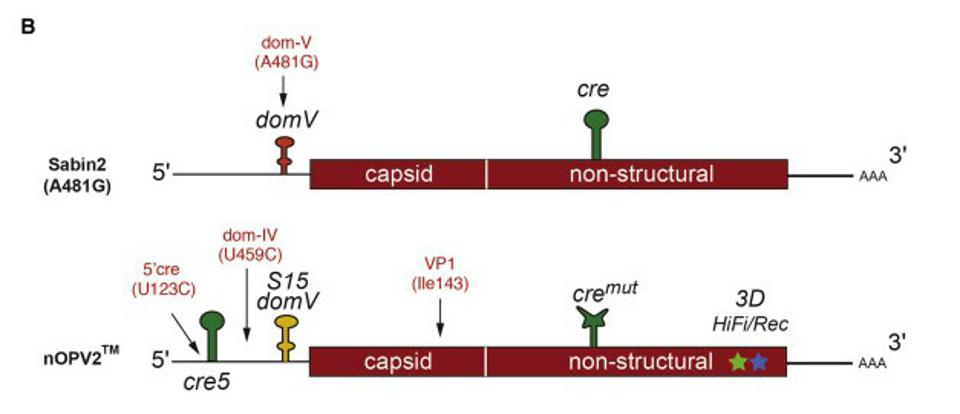 Figure 1. Positions for the most frequent mutations identified from shed viruses: domV A481G in Sabin2 (Evans et al., 1985); U123C (5′ cre), U459C (domIV), and A2969G (VP1-I143V) in nOPV2.