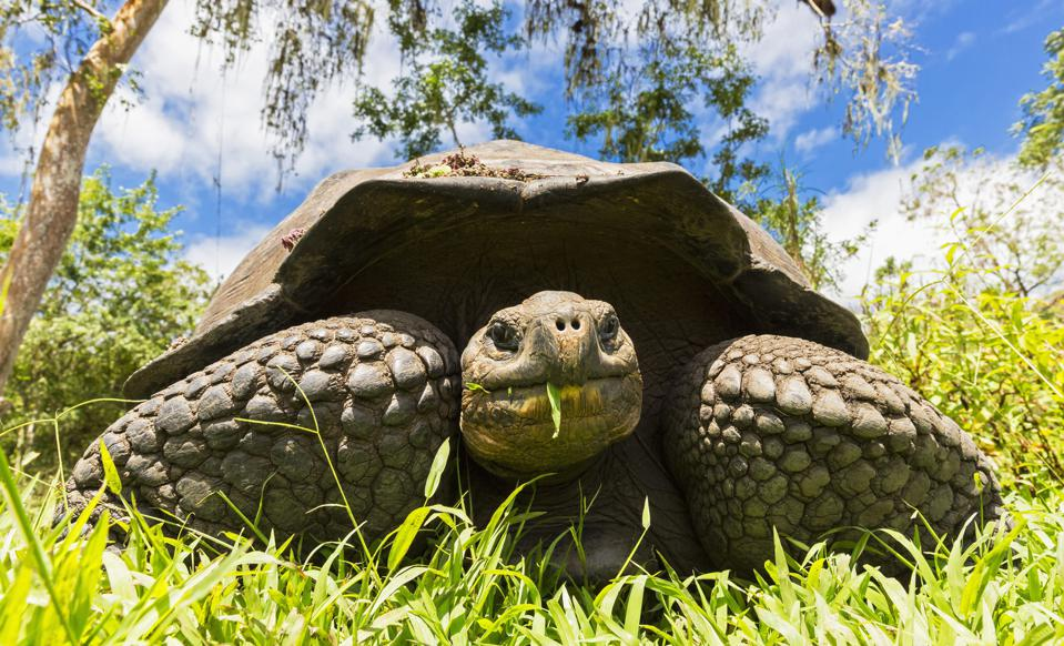 Ecuador, Galapagos Islands, eating Galapagos tortoise