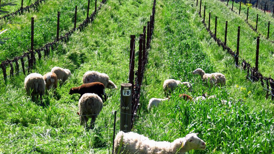 Flock of sheep in tall grass
