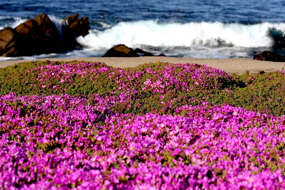 Asilomar California, State Beach with a magic carpet of purple flowers in the foreground