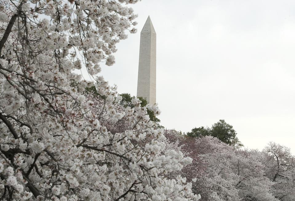 Cherry Blossoms In Bloom On First Day Of Spring