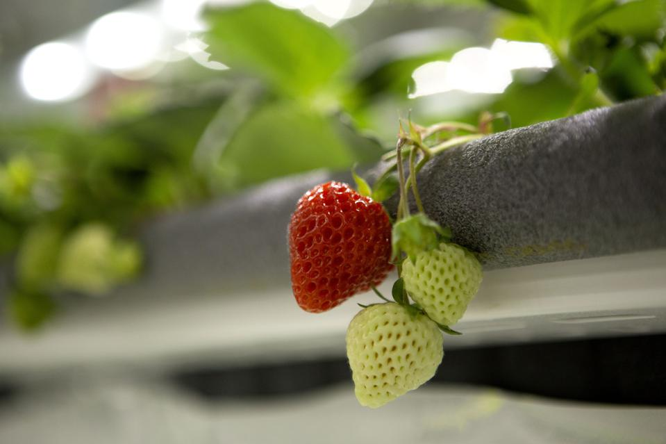 Oishii's strawberries growing at an indoor vertical farm in Kearny, N.J.