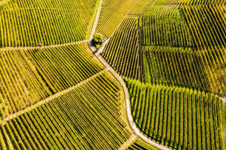 Top-down high angle view of vineyards, Langhe UNESCO World Heritage Site