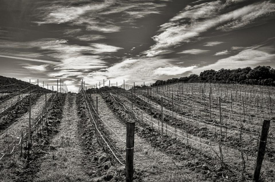 Vineyard Rows During the Winter in Black & White