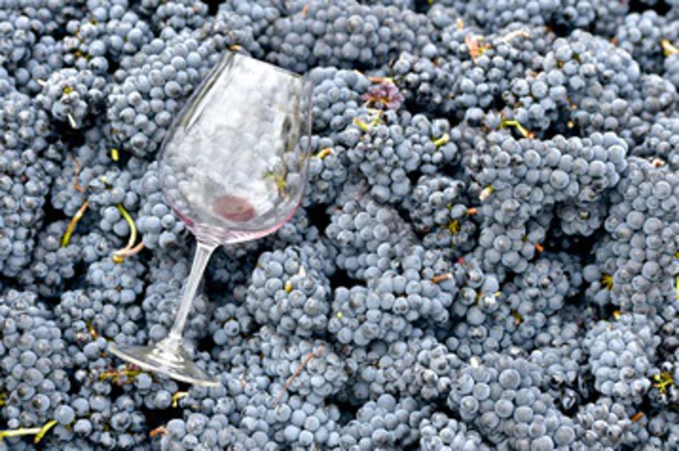 Wine glass on top of freshly harvested pinot noir grapes.
